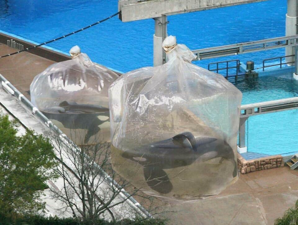 Captive whales in a bag