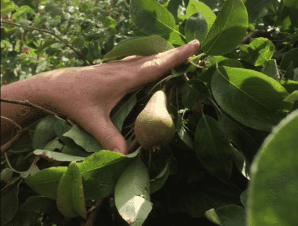 small pear