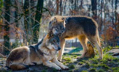 Wolf pack released into the Suffolk countryside