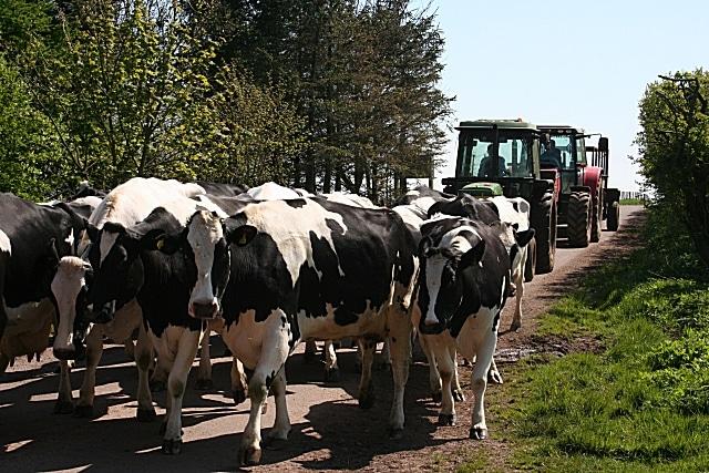 Livestock on Orwell Bridge