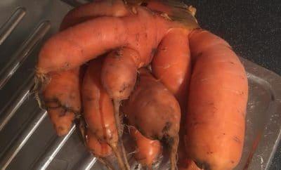 Genetically inbred Norfolk carrots