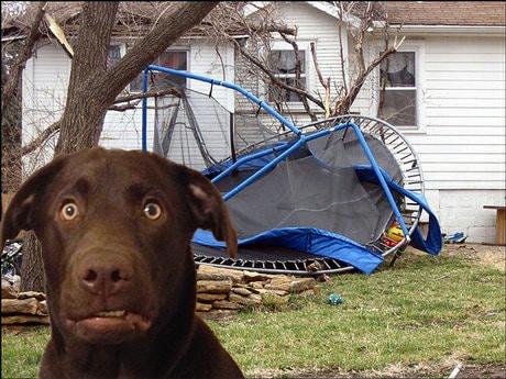 chocolate labrador trampoline