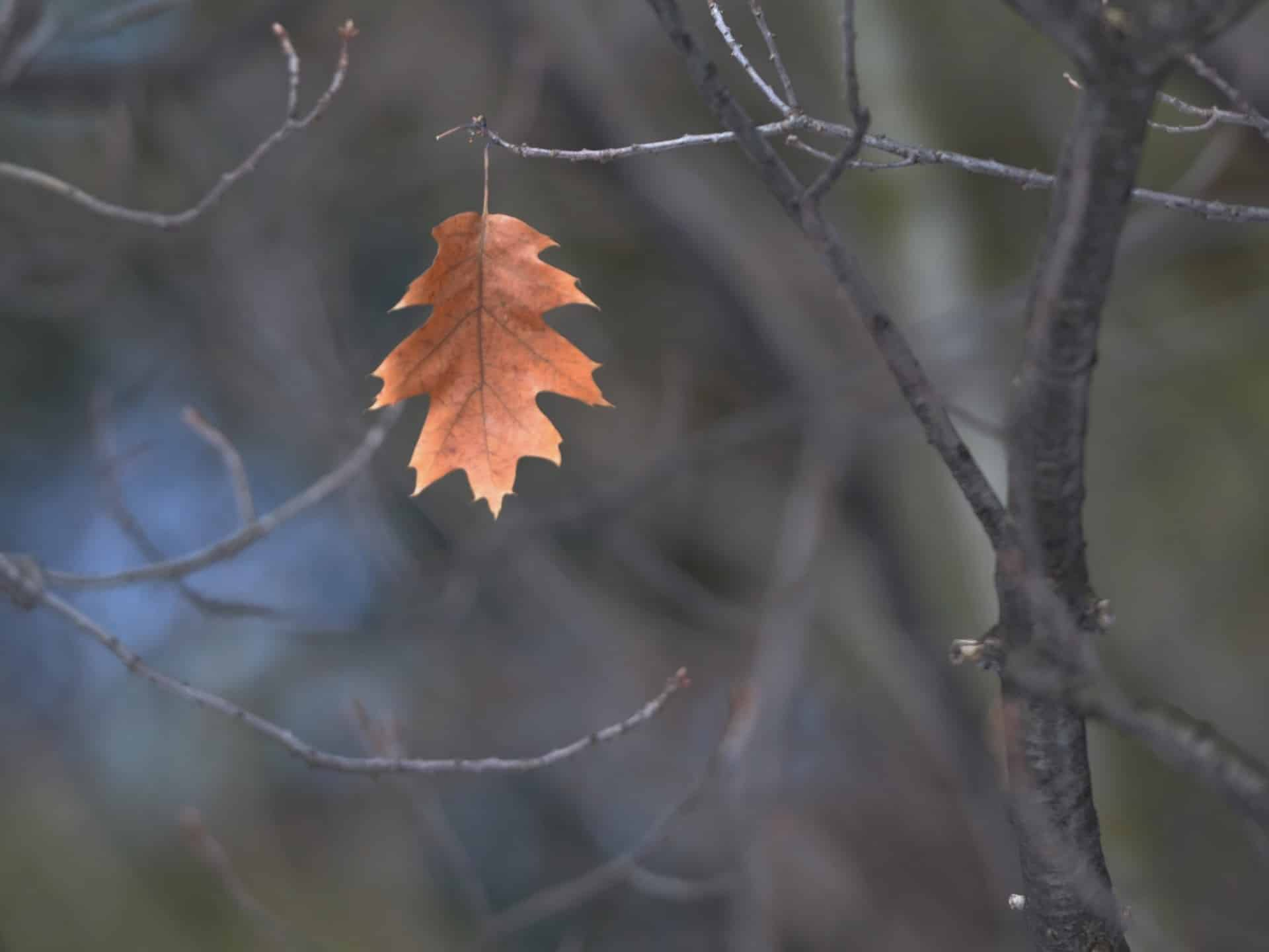 Last leaf on a tree