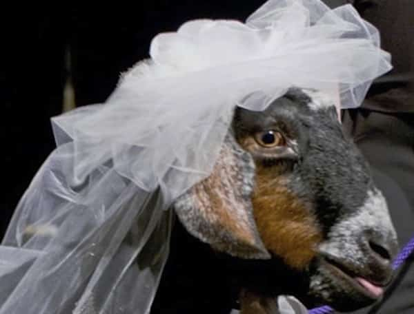 Suffolk man married his goat