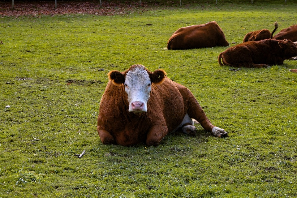 Cow lay down will it rain