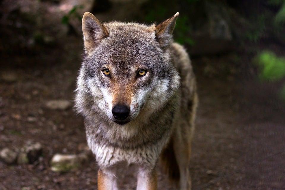 Wolf in Suffolk