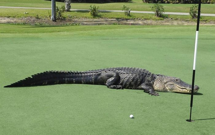 Ipswich Golf Club alligator