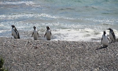 Penguins in Felixstowe
